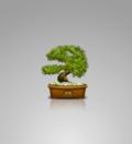 bonsai wall1 notext