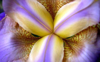 purpleiris 1680x1050