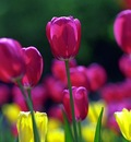 springtulips 1680x1050