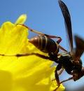 waspdaffodil 1680x1050