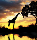 giraffelection1